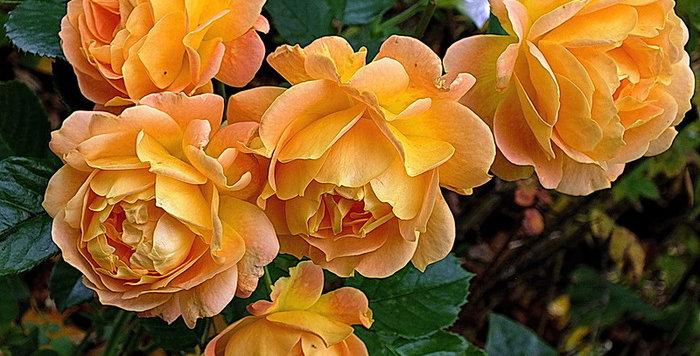 Роза флорибунда Голдэльзе Goldelse
