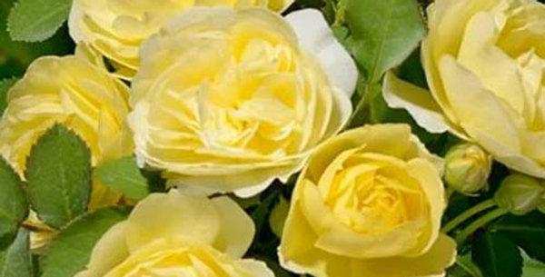 Роза флорибунда Контесс Дюбарри
