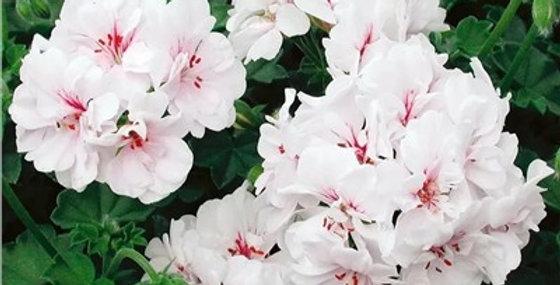 Пеларгония ампельная Атлантик White