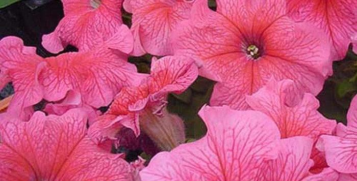 Петуния крупноцветковая Falcon Blush Pink (цена за опт)