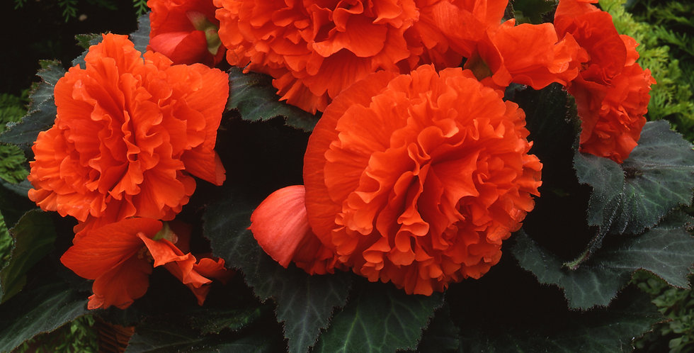 Бегония Amerihybrid ruffled orange mandarine