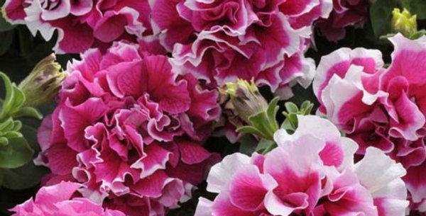 Петуния махровая Pirouette Rose (цена за опт)
