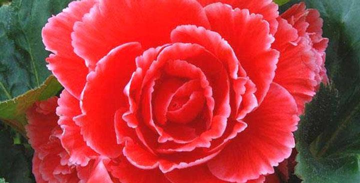 Бегония Amerihybrid lace red