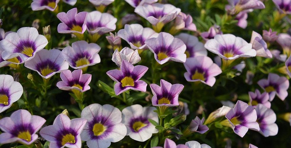 Калибрахоа  Hula lavender