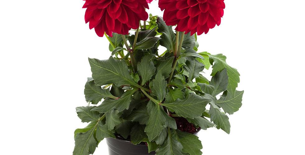 Георгина вегетативная   Grande Red