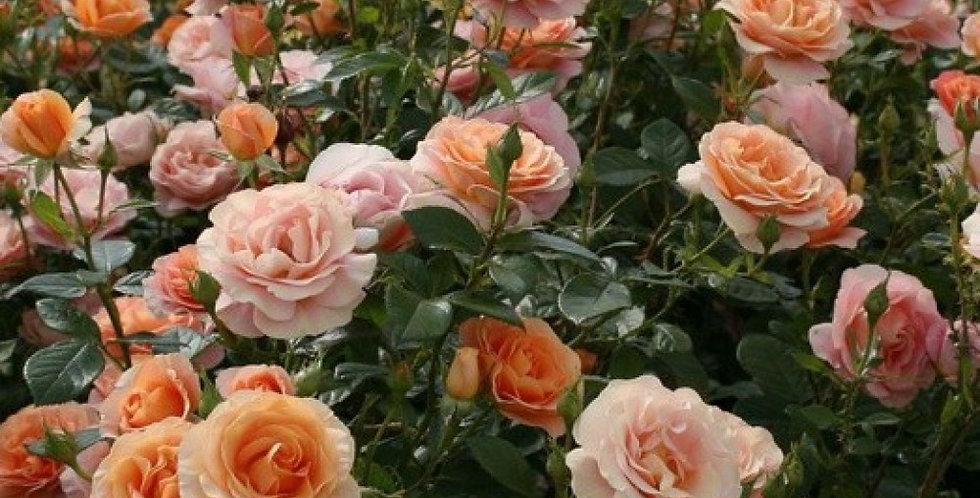 Роза флорибунда Бенгали ( Bengali ), Кордес