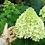 Thumbnail: Гортензия метельчатая Лаймлайт