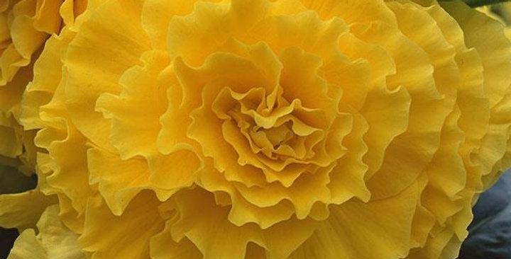 Бегония Amerihybrid ruffled Yellow