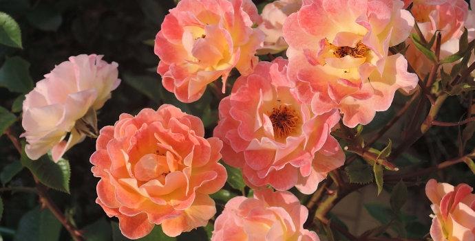 Роза почвопокровная Бэсси