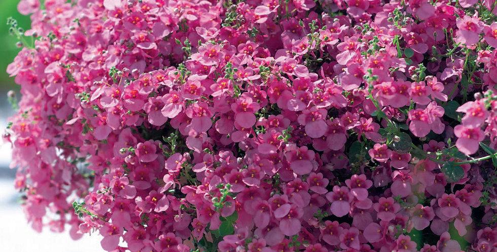 Диасция вегетативная Pink