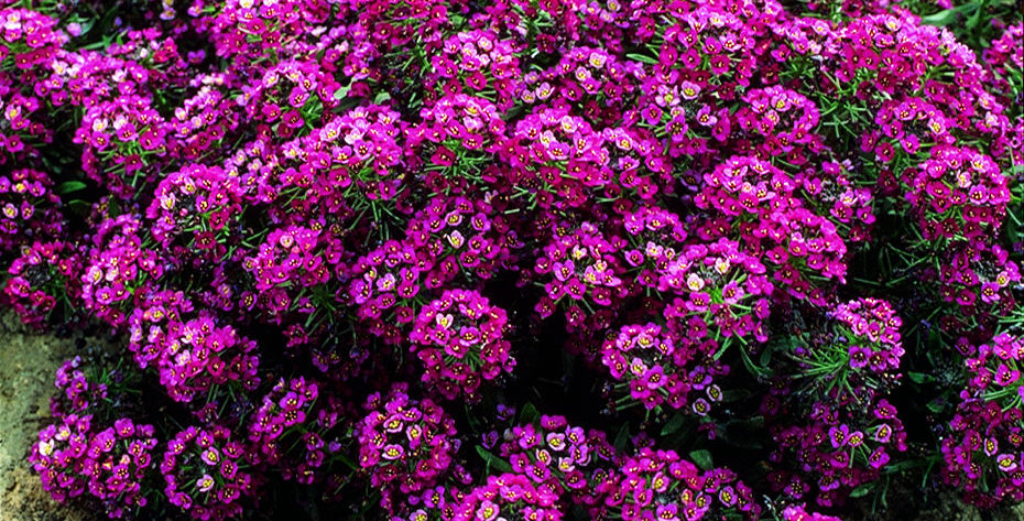 Алиссум (Violet) гибридный (ОПТ от 1 ящика (70шт)