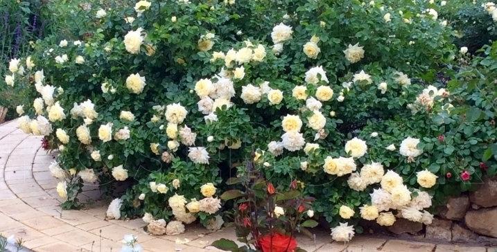 Роза почвопокровная Надя Мейяндекор