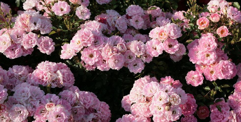 Роза почвопокровная Flirt 2011 от Кордеса