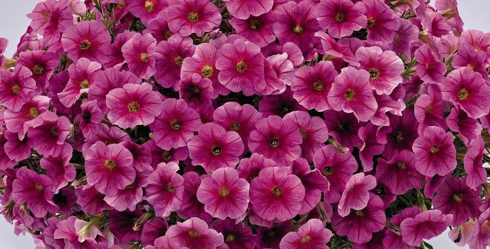 Петуния ампельная Success Pink Vein (цена за ОПТ)