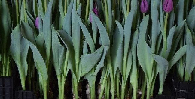 Тюльпан буллит