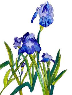 Iris collor correction