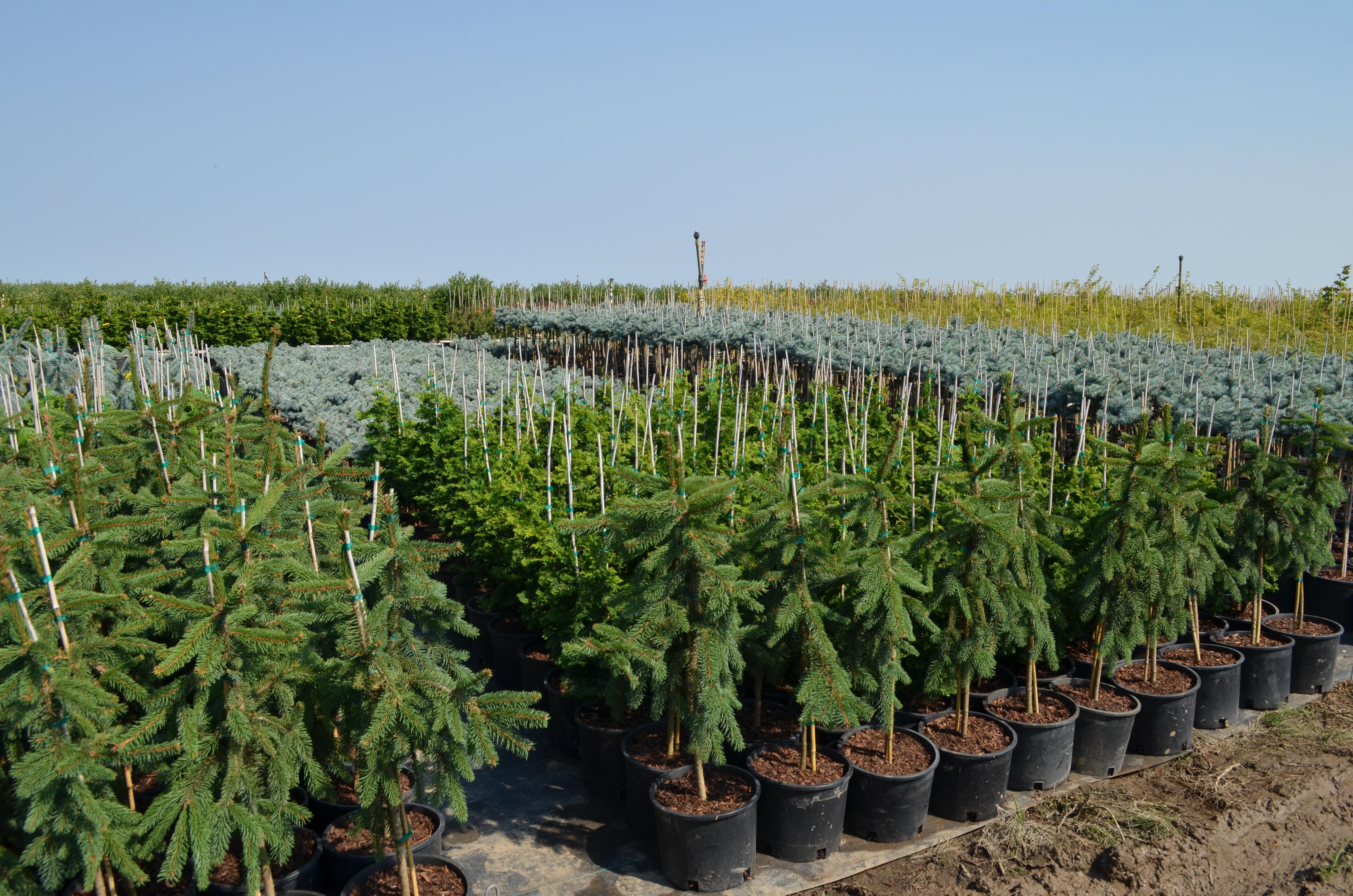 3g Conifers