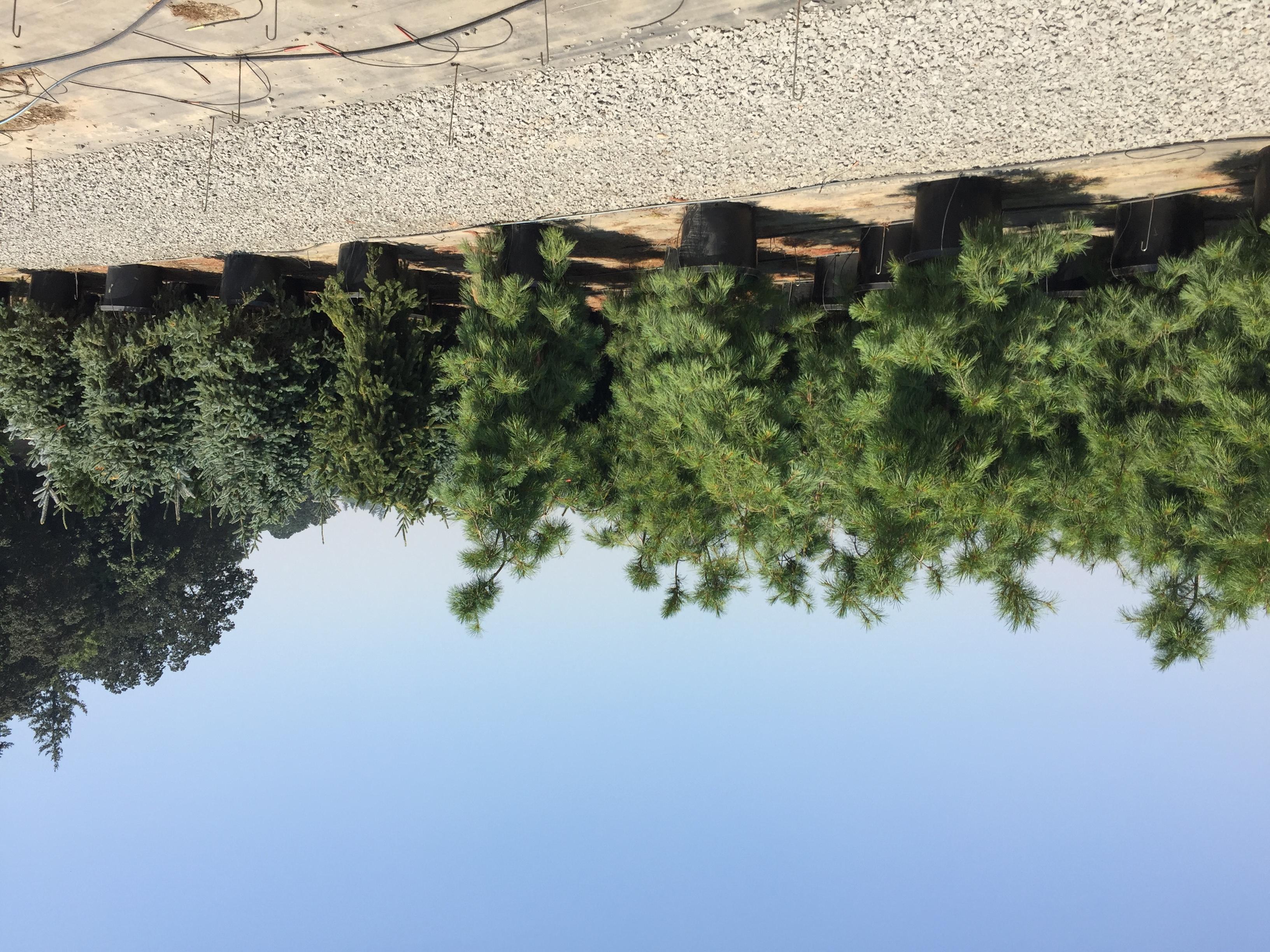 20g Pendula Pine