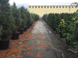 15 and 20g Conifers