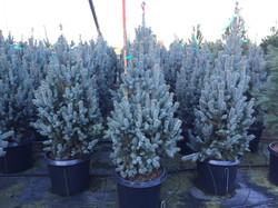 15g Fastigiata Spruce