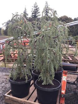 20g Serpentine Cedar