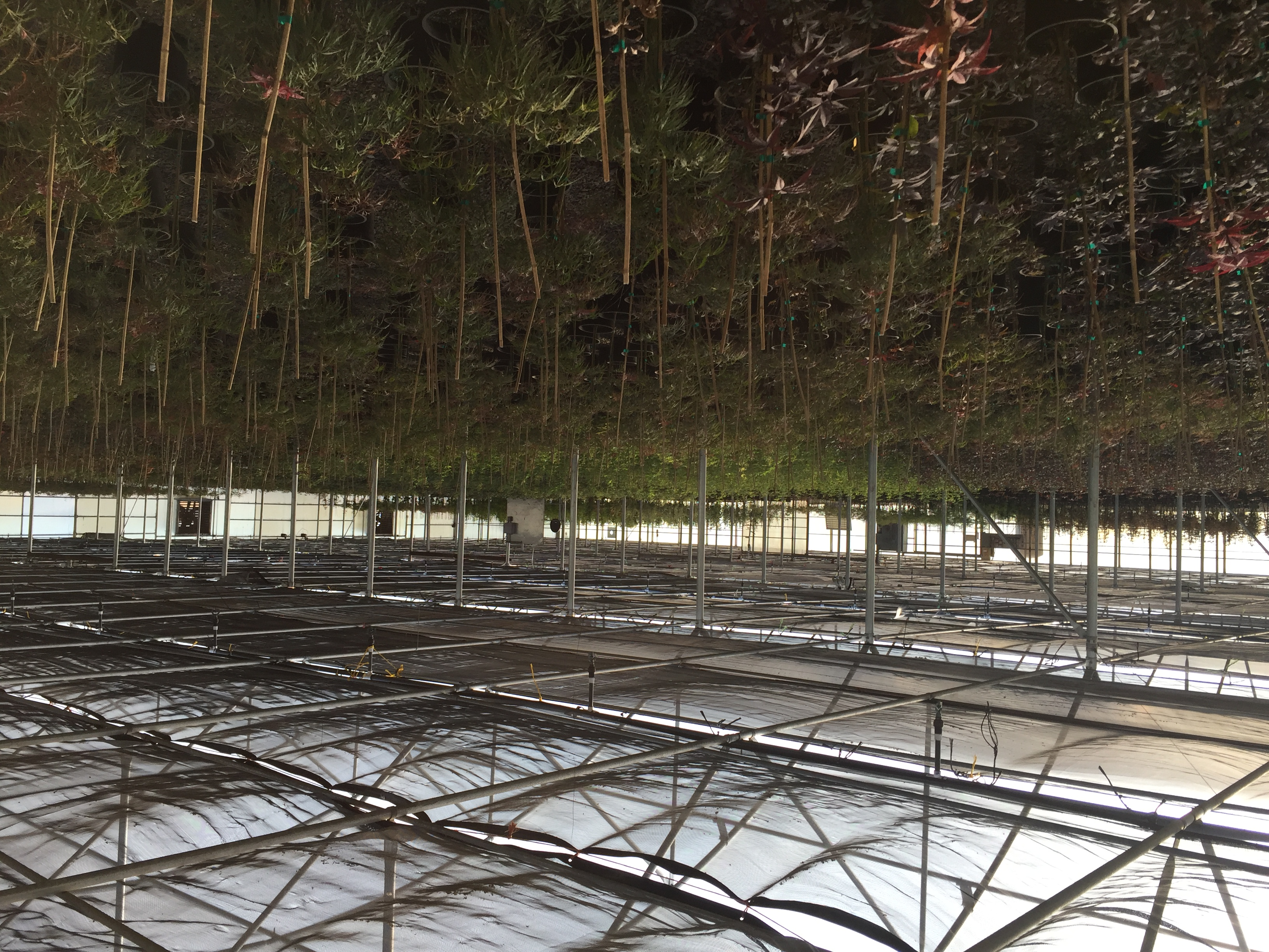 Greenhouse Grown 3g Maples