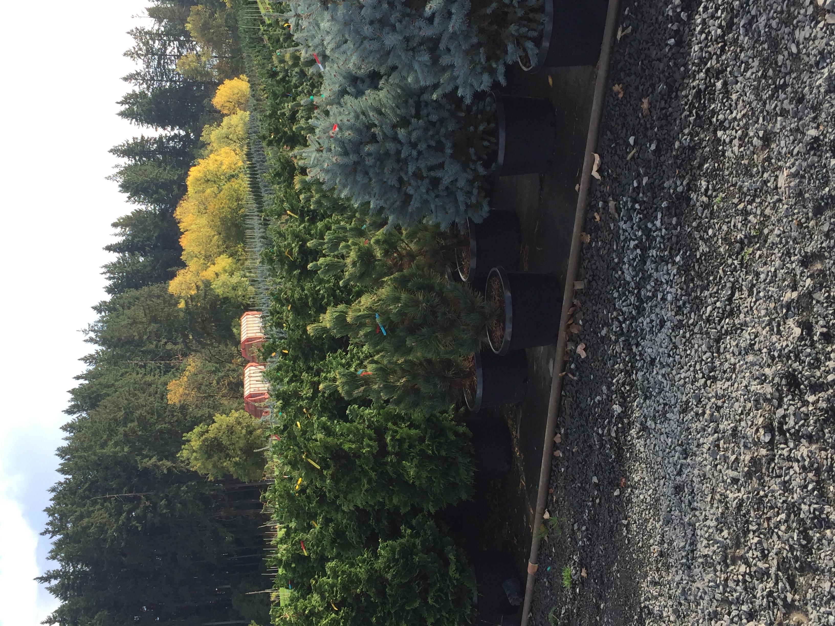 10g Conifers