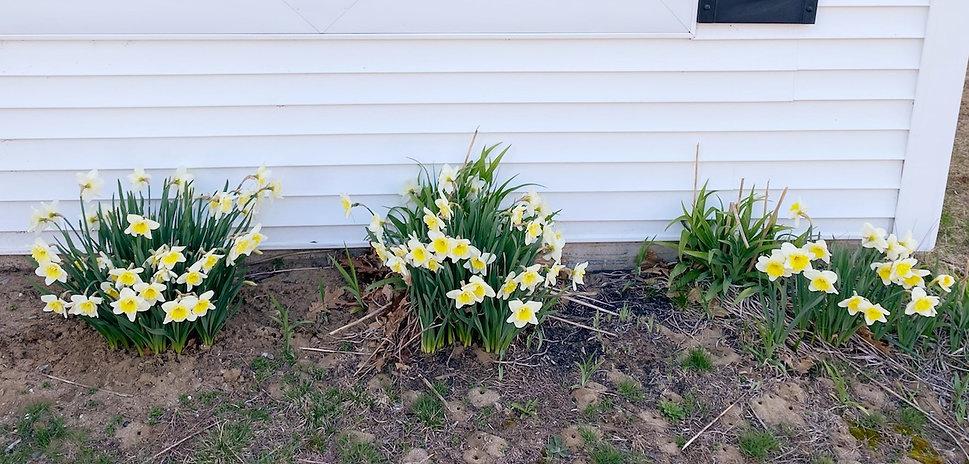 Office Daffodils.jpg