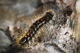 brown tail moth.jpg