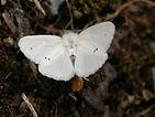 brown tail moth 2.jpg