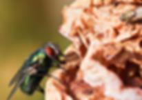 Fliege auf Obst
