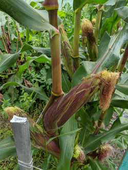 Corn growing in the Klukwan community ga