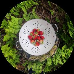 Strawberries harvested from garden plot