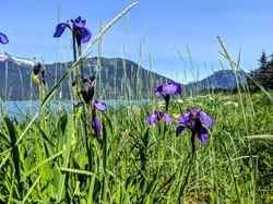 In June, irises grow wild on Haines beac