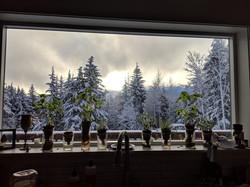 Windowsill herbs growing into the winter