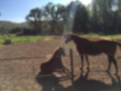 Débourrage jeunes chevaux. Travail et entrainement du cheval. Education du poulain. Toulouse, midi-pyrénées