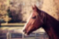 Débourrage jeunes chevaux. Travail et entrainement du cheval. Education du poulain. Toulouse, Montauban, midi-pyrénées. Stage ethologie