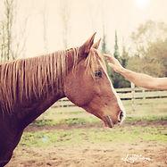 Débourrage jeunes chevaux. Travail et entrainement du cheval. Education du poulain. Toulouse, Montauban, midi-pyrénées. Stage ethologie a domicile. Natural Horse Coaching