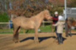 Stage éthologie. Débourrage jeunes chevaux. Travail et entrainement du cheval. Education du poulain. Toulouse, Montauban