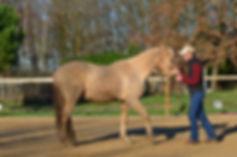 Débourrage jeunes chevaux. Travail et entrainement du cheval. Education du poulain. Toulouse, Montauban, midi-pyrénées. Stage ethologie Labastide Saint Pierre. Montricoux