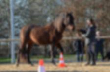 Stages éthologie, comportementatliste. Débourrage jeunes chevaux. Travail et entrainement du cheval. Education du poulain. Haute garonne, Tarn et garonne