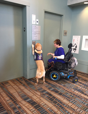 Yellow Labrador PAALS Assistance Dog in vest pushes an elevator button while next to his handler