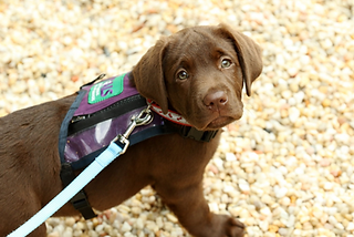 Chocolate Labrador Retriever Assistance Dog in training from Palmetto Animal Assisted Life Services looks at the camera with puppy vest on. Click this link to learn more about the story of The Good Dog Cause and our current projects giving back to Assistance Dog programs.