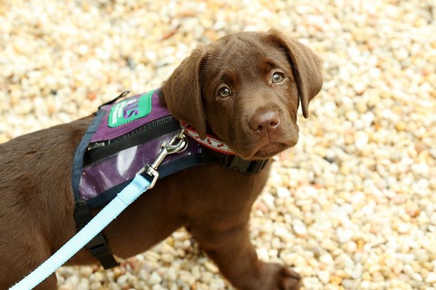 Chocolate Labrador Puppy in Training wears small puppy vest from Palmetto Animal Assisted Life Services while looking at the camera