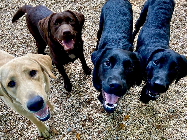 Yellow, Cocolate, and two Black Labradors stand side by side all smiling while looking up at the camera