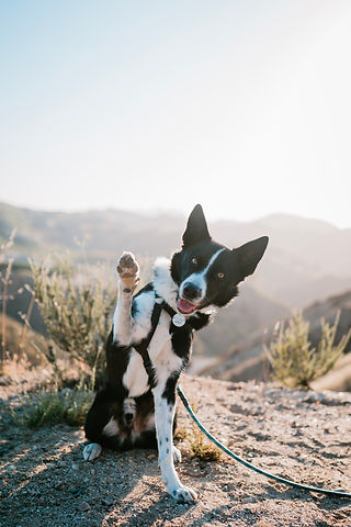 Border Collie sits facing the camera with paw raised with mountains in the background. Click to Join Our Community.