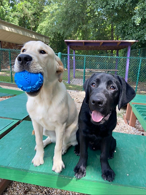Yellow Labrador and Black Labrador puppies from PAALS sit next to each other in the play yards with a toy