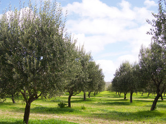 Our olive grove
