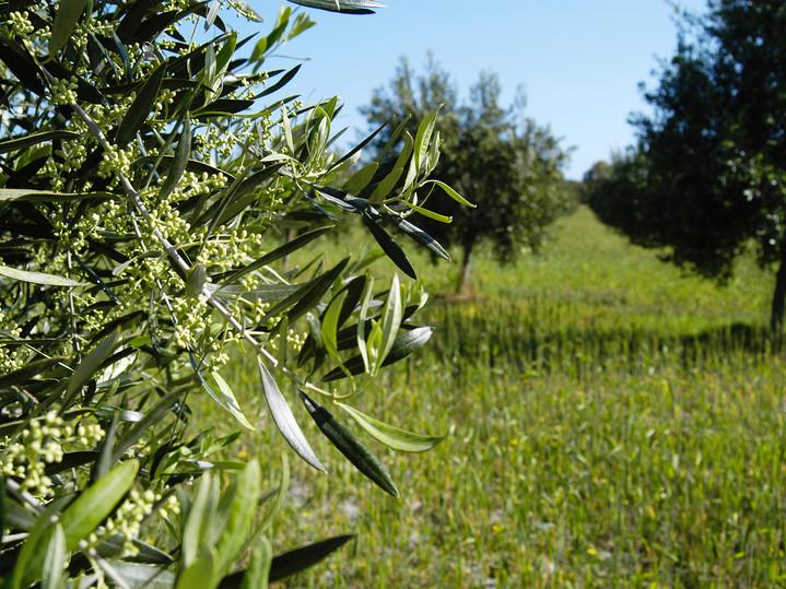 Olives on tree.jpg