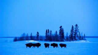Bison on Great Slave Lake